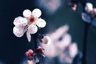【高解像度】薄暗闇に咲く白梅(3パターン)