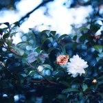 【高解像度】降り注ぐ光と散りゆく山茶花(サザンカ)(3パターン)