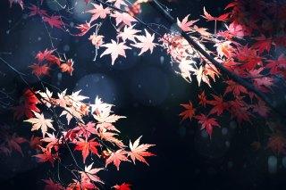 【高解像度】照らし出される紅葉(3パターン)