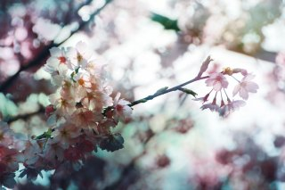 【高解像度】滲む景色と桜(3パターン)