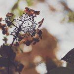 【高解像度】光の中の枯れ紫陽花(アジサイ)(3パターン)