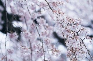 【高解像度】降るような枝垂れ桜(シダレザクラ)(3パターン)