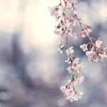 【高解像度】風にそよぐ枝垂れ桜(シダレザクラ)(3パターン)