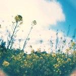 【高解像度】菜の花と光の輪(3パターン)