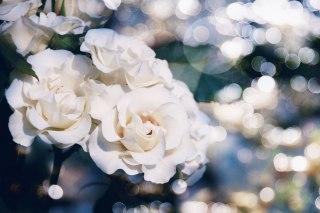 【高解像度】光の玉と白い薔薇(バラ)(3パターン)