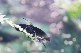 【高解像度】葉に留まる黒いアゲハ蝶(3パターン)