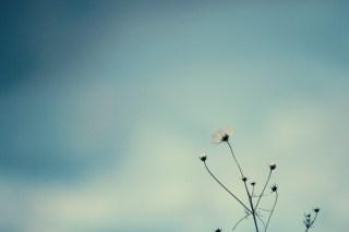【高解像度】曇天と白いコスモス(3パターン)