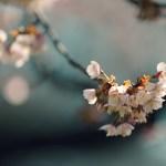 【高解像度】咲き初めの寒桜(カンザクラ)