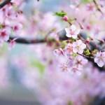 【高解像度】ピンク色の桜(サクラ)(3パターン)