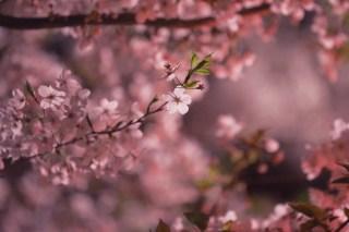 【高解像度】満開の夜桜(サクラ)(3パターン)