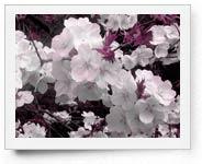 peper-curl-flower007