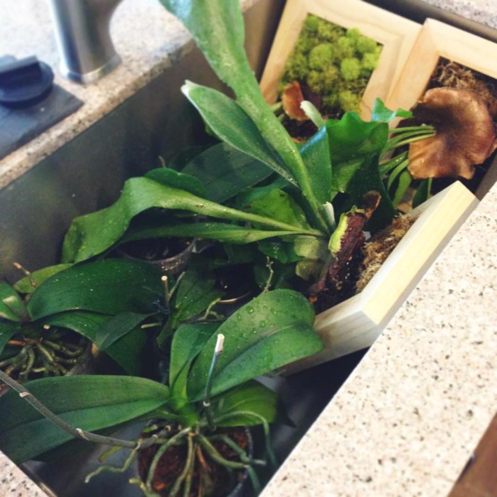 Epiphyte watering day! Hope no one needs the kitchen sinkhellip