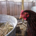 Backyard chickens: Annie's getting ready for her first egg