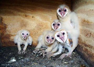 Fall Owl Wallpapers Nestwatch