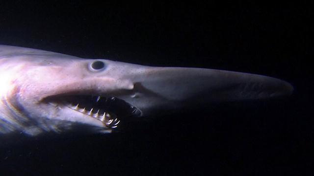 Shark Attack 3d Live Wallpaper Alien Sharks Goblin Shark Shark Week Discovery