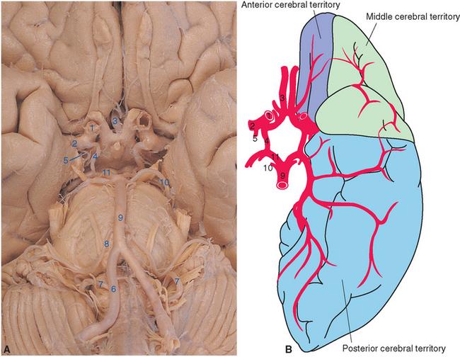 Blood Supply of the Brain Neupsy Key