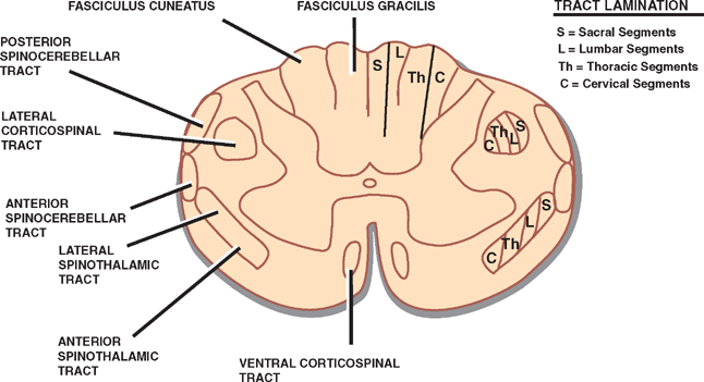 Spinal Cord Neupsy Key - spinothalamic tract