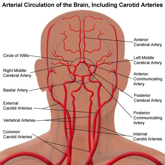 Blood Flow Through the Brain, pt 1 (Overview) NeuroEMS