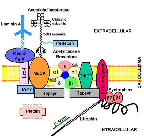 Dystrophin-Glycoprotein Complexes - neuromuscular junction
