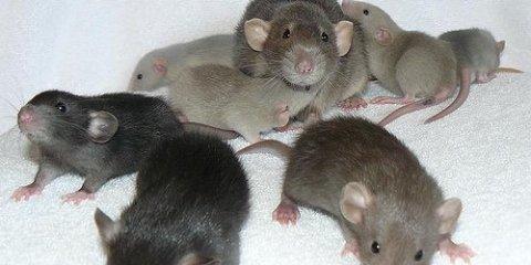 GAD1-Gene-Rats-GABA