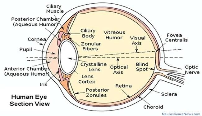 human-eye-diagram-public