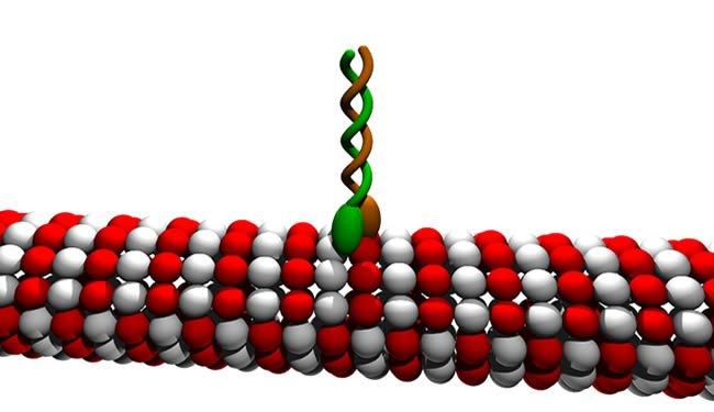 microtubule-kinesin-dimer