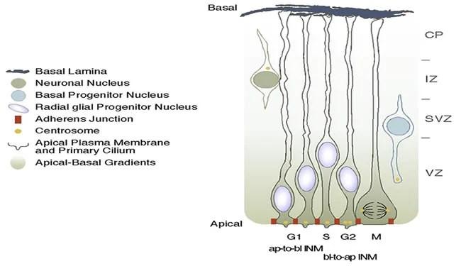 neurogenesis-progenitors-radial-glial-cells