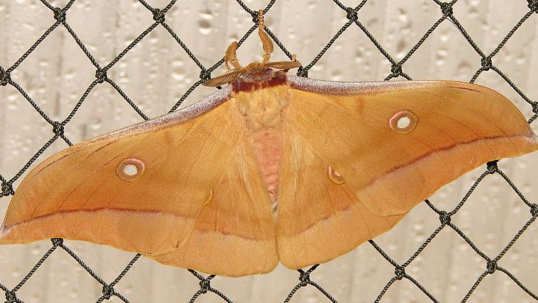 The picture shows an Antheraea pernyi silk moth.
