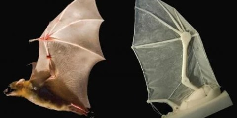 The image shows the robotic bat wing and a real bat.