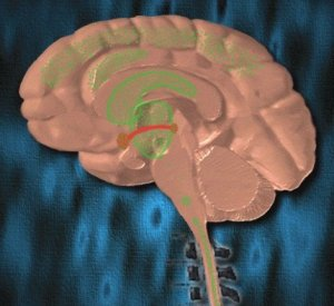 The image shows the opiate binding sites within the brain, highlighted in green.