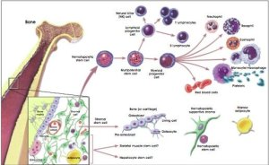 the image shows the difference between Hematopoietic and Stromal Stem Cells.