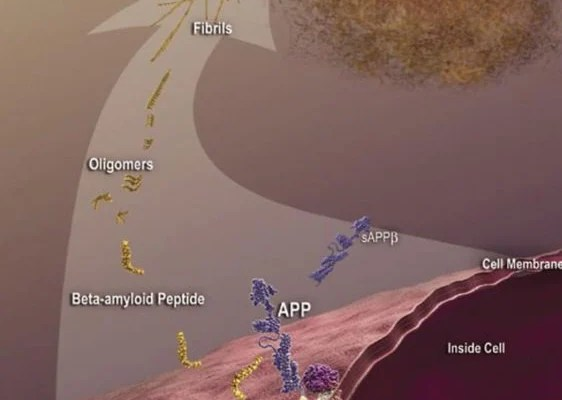 The diagram shows beta amyloid formation in alzheimer's disease.