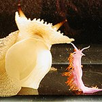This is a photo of the sea slug used in this research, Pleurobranchaea californica.