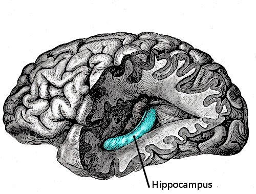 This image shows the location of the hippocapmus in the brain.
