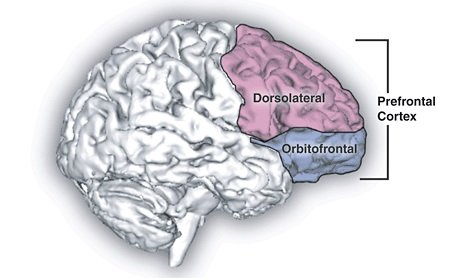This image shows a side view of the brain, illustrating the dorsolateral prefrontal and orbitofronal cortex.