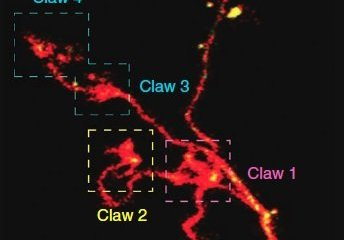 The image shows the kenyon cell claws.