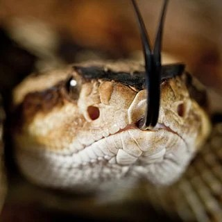 This is a rattle snake.