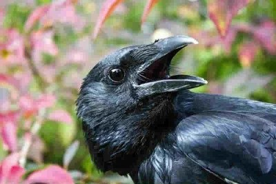 This is a picture of a crow.