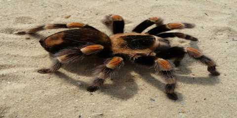 tarantula-big-neurotoxins-sodium-channel