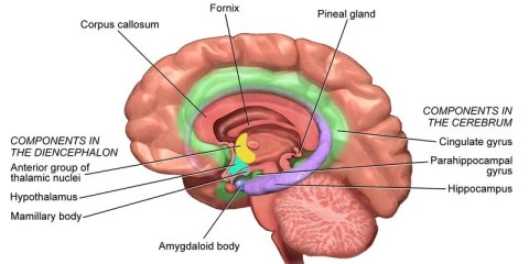 The image is a drawing of the brain with the areas of the limbic system labeled.