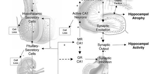 This image shows cortisol release and the hpa axis.