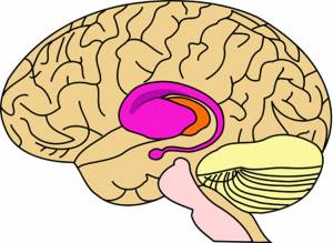 This image shows the putamen and caudate location in the brain.