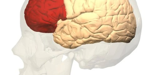 The image shows the location of the prefrontal cortex in the human brain.