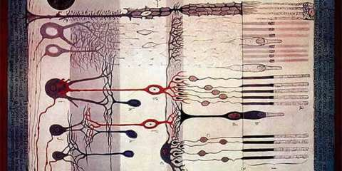"""This image shows Santiago Ramon y Cajal's """"Structure of the Mammalian Retina"""" (circa 1900)."""