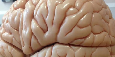 This image shows a brain made of plastic.