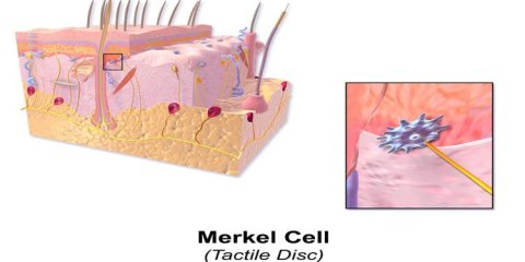 The image is a diagram of a merkel cell and shows its location under the skin.