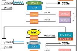 Flow chart showing how MRY disrupts the circadian clock.