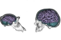 Image shows models of human and chimp skulls with the brains drawn in.
