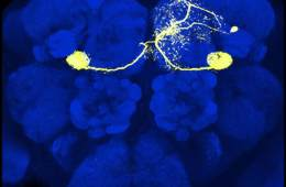 Image shows a dopamine nueon in the mushroom body of the fruit fly.