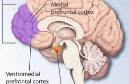 Image shows location of medial prefrontal cortex and amygdala in the human brain.